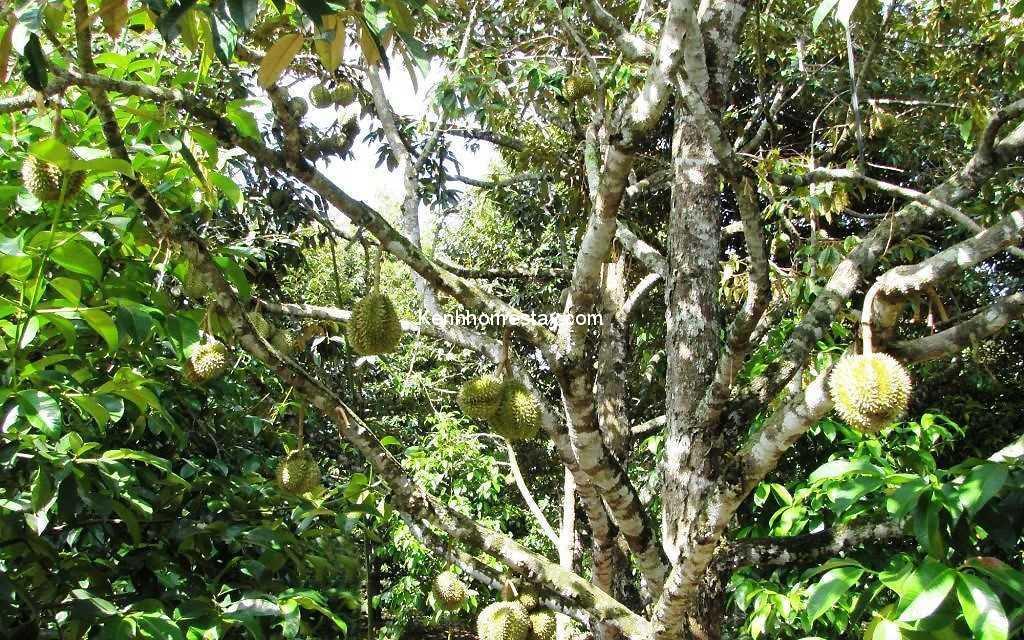 """Top 15 vườn trái cây gần Sài Gòn đẹp """"dữ dội"""", ăn """"tẹt ga"""" chỉ với 10k"""