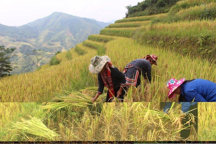 Hoang Su Phi Lodge: Khu nghỉ view cánh đồng lúa đẹp miên man