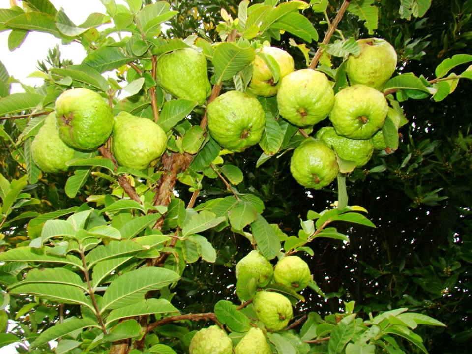 Top 10 vườn trái cây Cần Thơ tham quan MIỄN PHÍ nên ghé