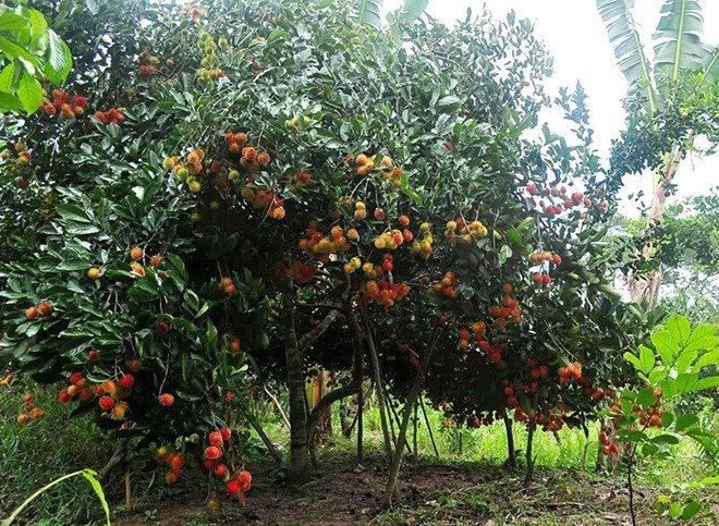 Top 10 Vườn trái cây Củ Chi – Trung An ăn bao no đáng để tham quan hái trái