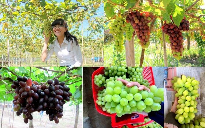 Những vườn Nho Ninh Thuận không thể bỏ qua trong tháng 4